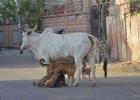 dogged-cow