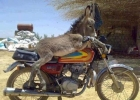 donkey-motorcycle-ride
