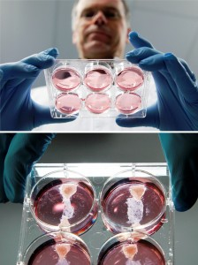 Samples of in-vitro-meat or cultured meat raised by Prof Mark Post.