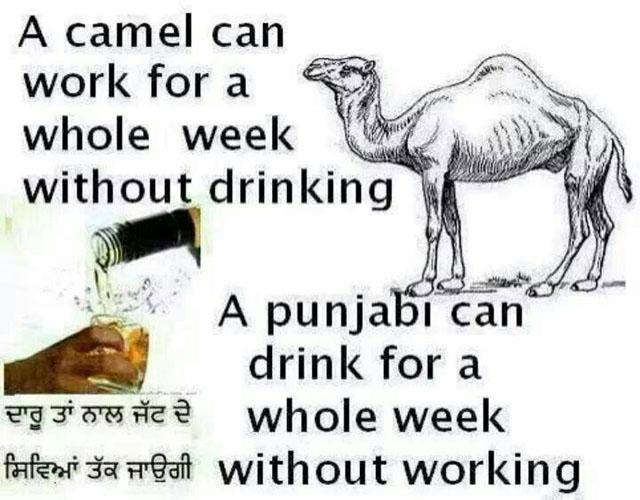 Punjabi vs camel
