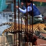 Leopard Scare