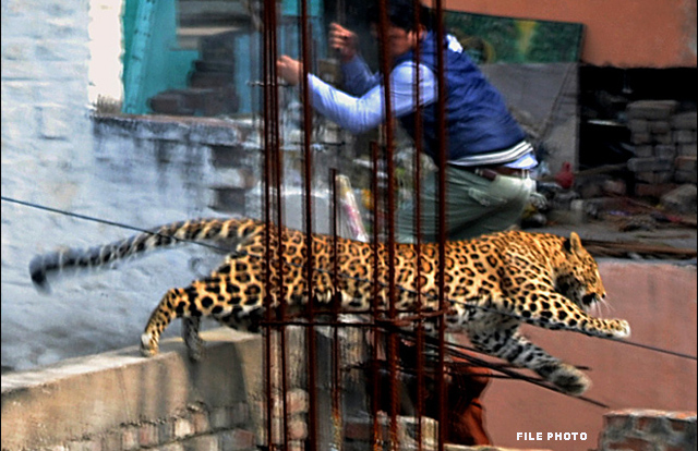 IIT Bombay gets leopard scare, but big cat dodges robots and searchers