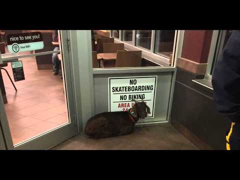 Royal Canadian Mounted Police arrest goat for refusing to leave Tim Horton