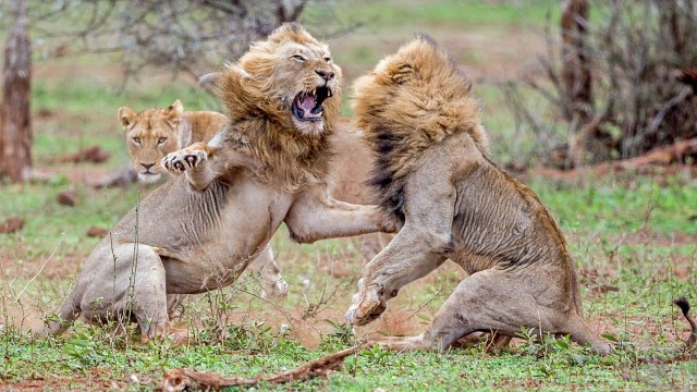 Two lions fight over lioness