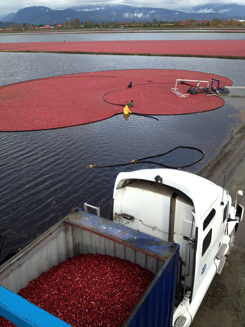 Operations at Peter Dhillon's cranberry farm