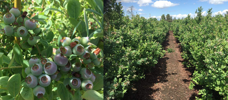 Meet blueberry superstars of Canada