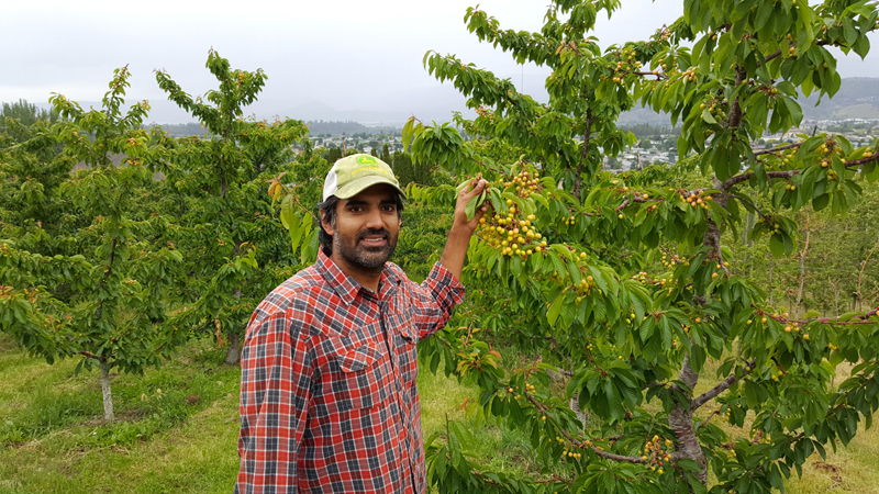 Sukhpaul Bal with his cherry crop