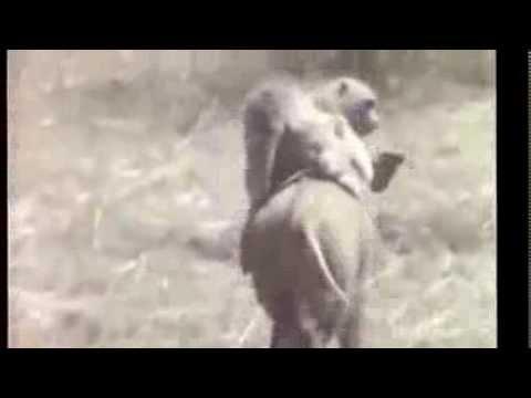 Monkeys take wild boar for a ride
